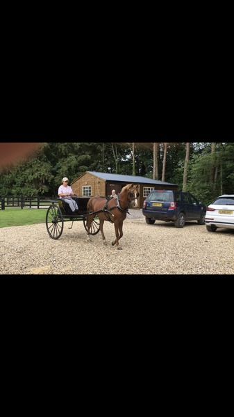 13.2hh top class driving pony