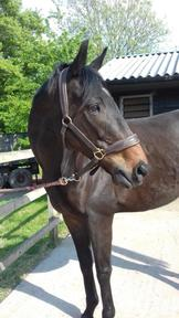 Beautiful 15.3hh 8yr old TB Gelding