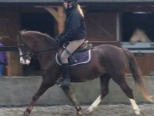 Welsh sec B reg whp pony club pony superb bloodlines