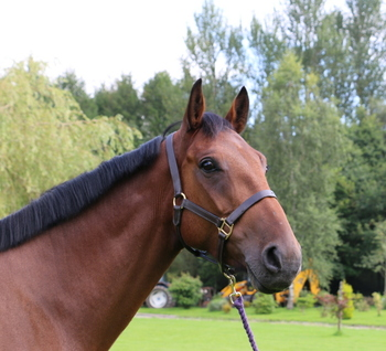 Quiet, Real Gent 16.2hh Bay Gelding rising 7