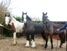 Selection of Irish Horses