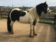 4 year old mare 13. 3