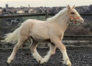Palomino Weanling colt to mature 15hh