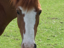 13hh Chestnut Roan mare for Re-homing as a companion