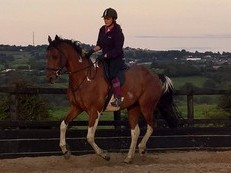 SOLD ** George 16.2hh Coloured Dressage / Eventer  4 white Socks
