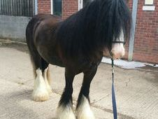 Cob gelding with showing potential