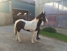 Very Pretty Piebald Cob Pony