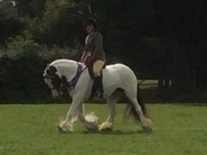 Top class coloured traditional gypsy cob ride and drive.