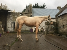 * reduced *Stunning palomino yearling filly