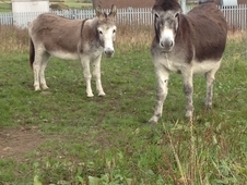 2 Mare Donkeys to go together as a pair