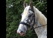 Beautiful Appaloosa x warmblood gelding 4 yrs old 15.1 h