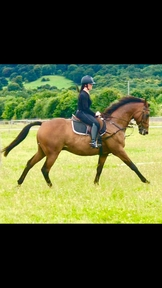 16.3 HH TB BAY GELDING 13 YEARS OLD