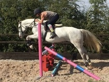 9 year old 16. 2h Irish Sports Horse