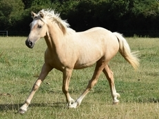 Beautiful registered Welsh X TB/Connemara Palomino Filly For Sale