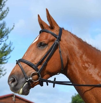 Lovely Amateur Eventer/Riding Club Horse