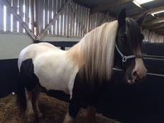 15.1hh stunning cob gelding - charity re-home