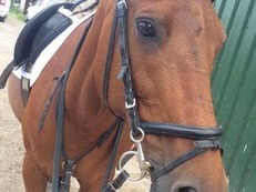 14.2hh bay mare HAPPY HACKER