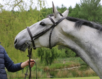 Gentle, Kind and Talented 16.2hh Grey Stunning Mare rising 7
