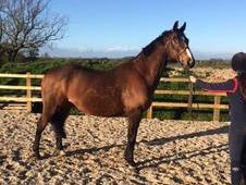 "**Reduced for Urgent Sale"" - Rio - 15. 3hh WB x TB Gelding"