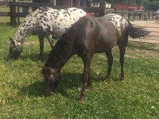 Stunning pair of spotted ponies