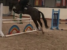 Serious Potential 8 year old Gelding