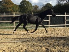 Stunning bay 3 year old gelding