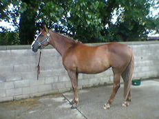 Irish Tb mare 17hh available for permanent loan