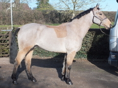 Striking Dun Gelding