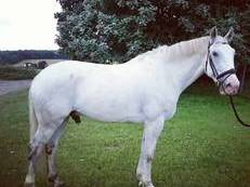 Potential hunter/ dressage/ competition horse