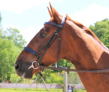 Exceptional Schoolmaster 15.3hh Irish Chestnut gelding 9 years