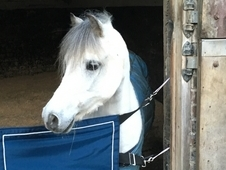 11. 1hh Welsh A, 8 year old gelding