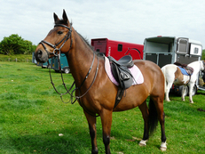 15.1hh Irish Bay Mare