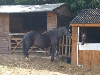 Black Welsh Mare In Foal To Susan George Black Arab Stallion