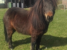 Miniature British Spotted Pony / Shetland
