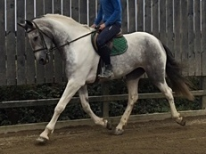 impressive 16.3hh filly