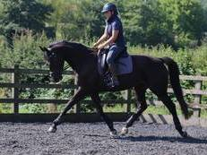 Top class AES 7 year old dark bay mare. 16.1hh
