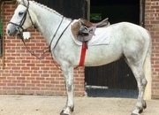 Beautiful Registered Connemara Gelding