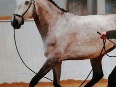 Well Bred Lusitano Gelding -Project