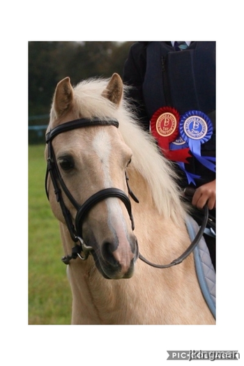 Gorgeous Palomino Pony 12.2hh