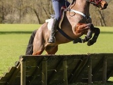 Fantastic 12hh PC or BS pony for loan