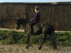 Stunning black 3yo Friesian mare currently approx 15hh (to mature 15.1/2)