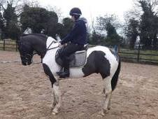 16. 1hh 5yr Old - Athletic quiet all-rounder