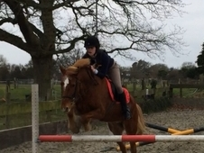 13, 2hh New Forest Gelding for sale