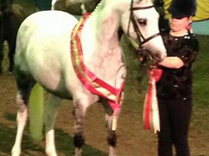 Stunning part bred blue and white mare