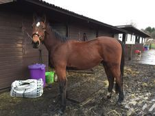 3yo TBx 16. 2hh Ready to be backed this spring
