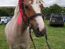Stunning Welsh Sec A Strawberry roan mare