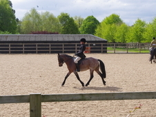 13. 1hh bay roan 8yrs new forest compititon mare