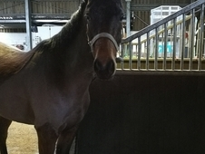 ***STUNNING SPORTS PONY MARE FOR SALE***