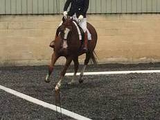 15.3/16h Flashy Chestnut Gelding