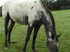 Appaloosa Sport Horse full Bred filly **Summer Project**